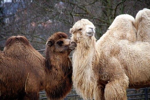 полезные свойства верблюжьей шерсти