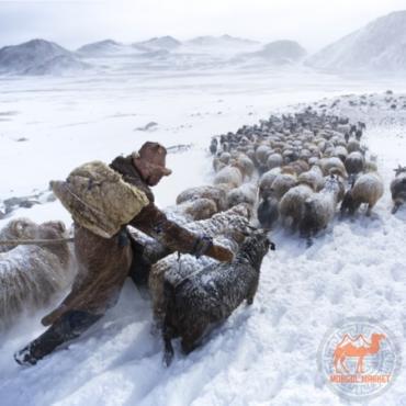 Фото кашемировые козы Монголии