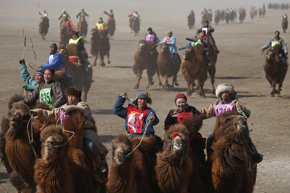 фестиваль верблюдов в Монголии картинки