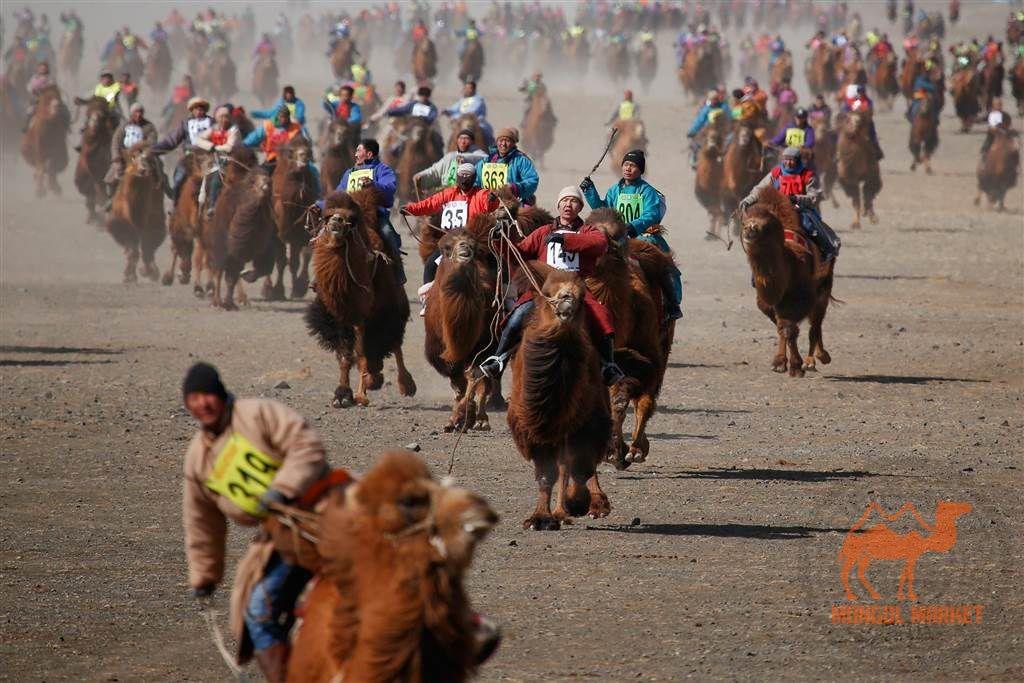 Фестиваль верблюдов в Монголии фото